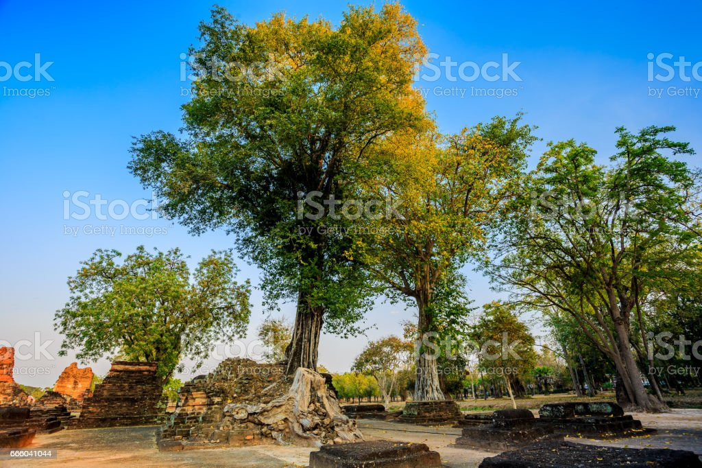 Trees in Sukhothai Historical Park, Ancient Town of Thailand stock photo