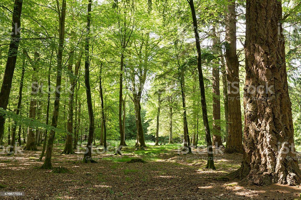 trees in summer woodland New Forest England stock photo