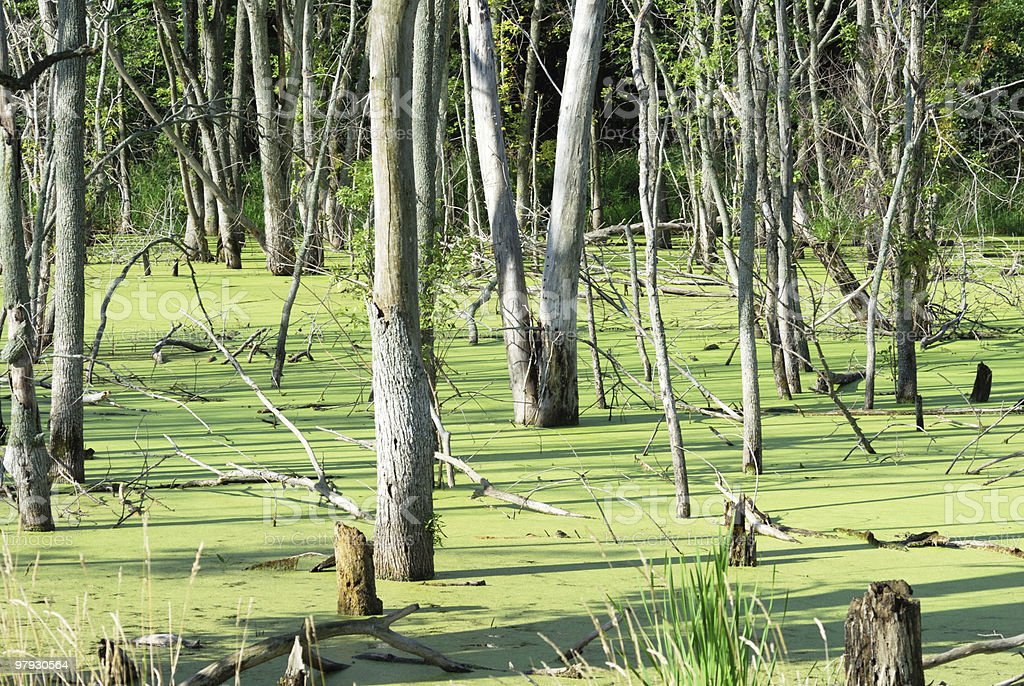 Trees in Swamp royalty-free stock photo