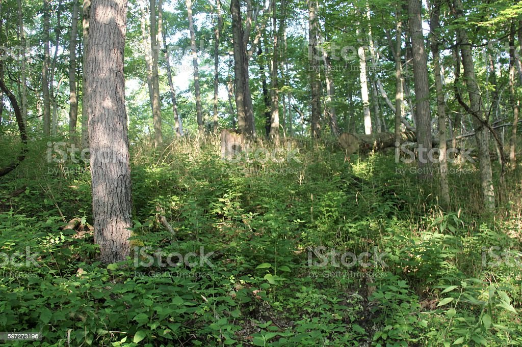Trees in the Forest royalty-free stock photo