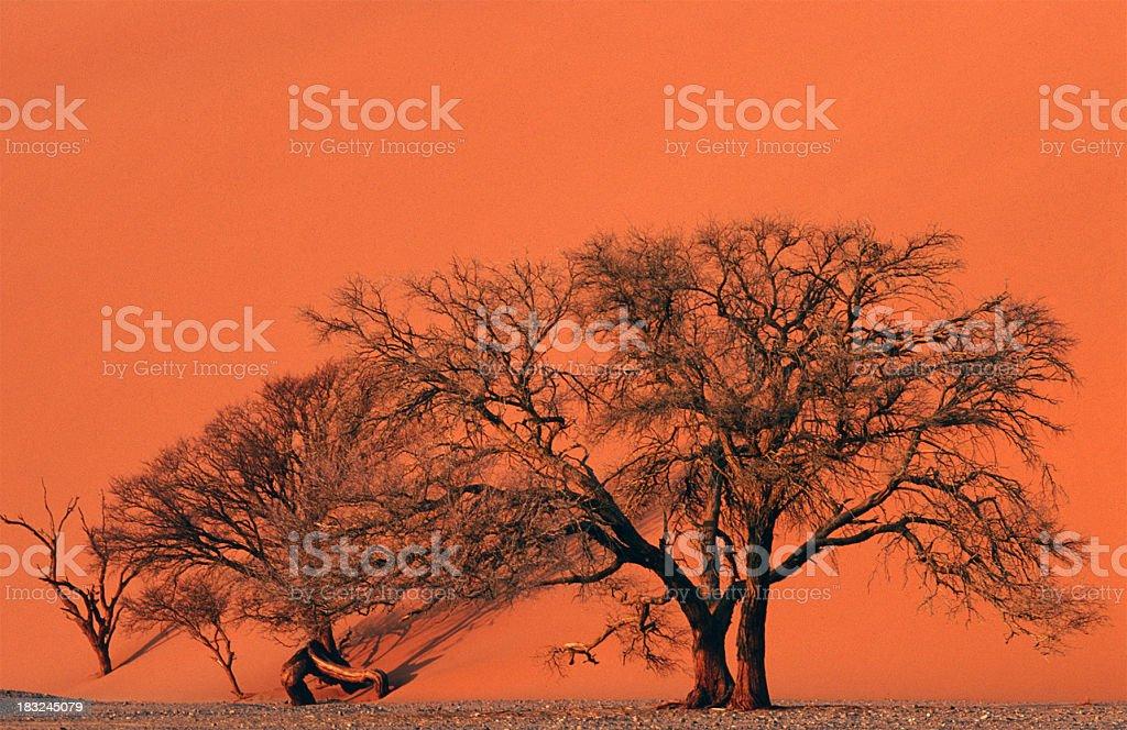 Trees in the Namib desert stock photo
