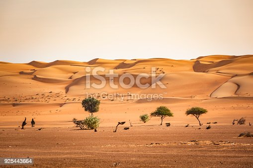 view trees growing at the beginning of the wahiba sand desert in the sultanate of oman.