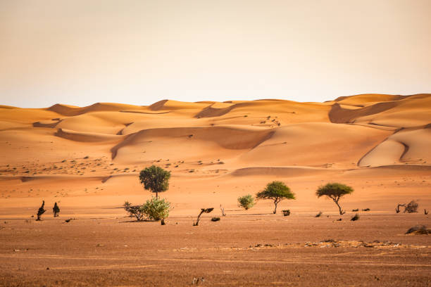 trees in the wahiba sand desert of sultanate of oman stock photo