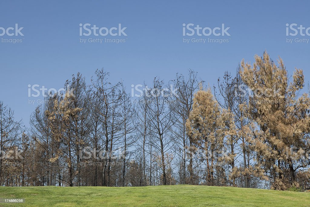 Trees in Various States after Fire royalty-free stock photo
