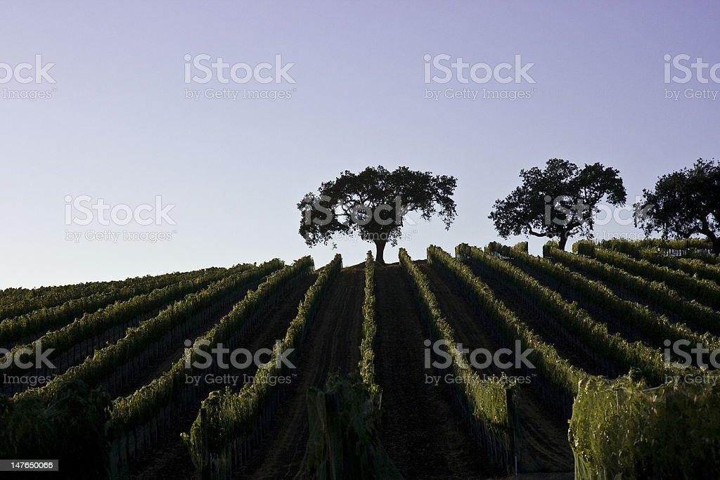 Trees in Vinyard stock photo
