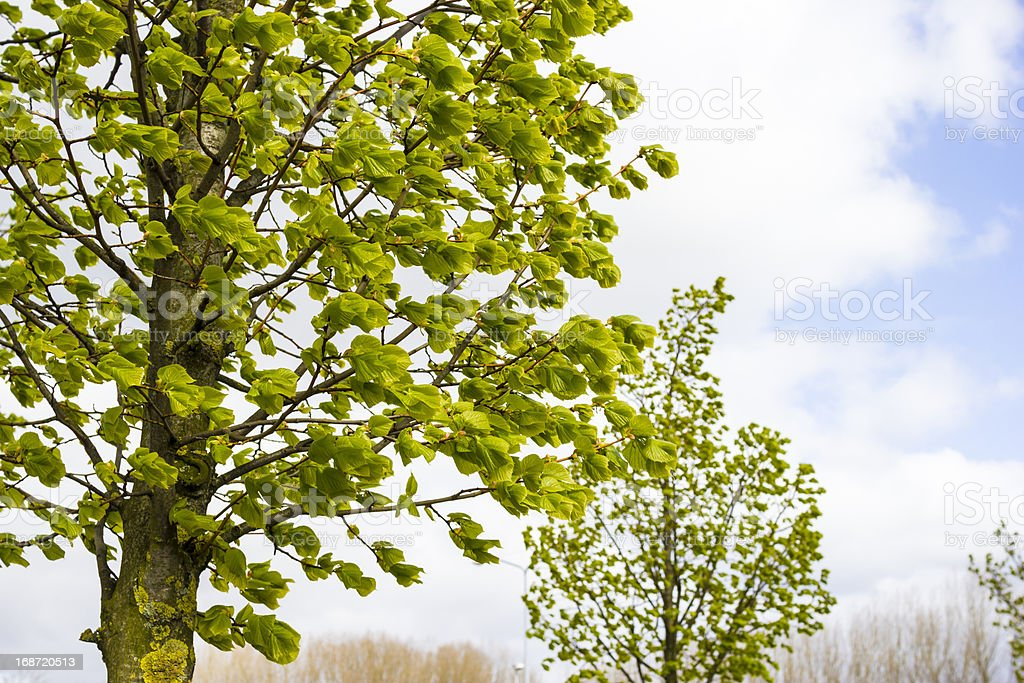 Trees in windy weather royalty-free stock photo