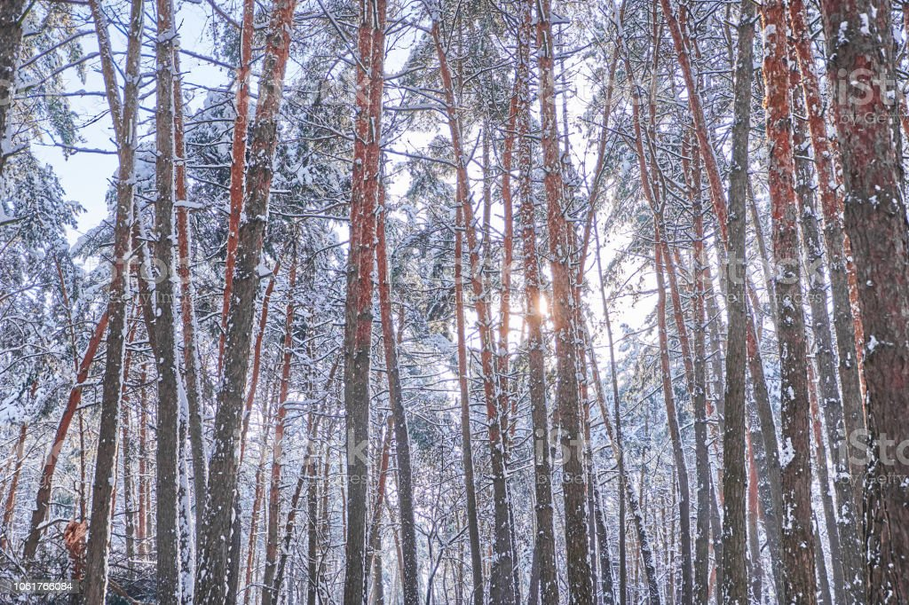 Trees in winter park. Pines cowered with snow in a wood. Seasonal...