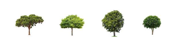 Träd isolerade på vit bakgrund bildbanksfoto