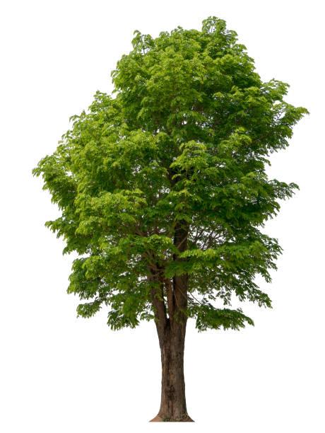 los árboles aislados sobre fondo blanco, los árboles tropicales aislados utilizados para el diseño, la publicidad y la arquitectura - árbol fotografías e imágenes de stock