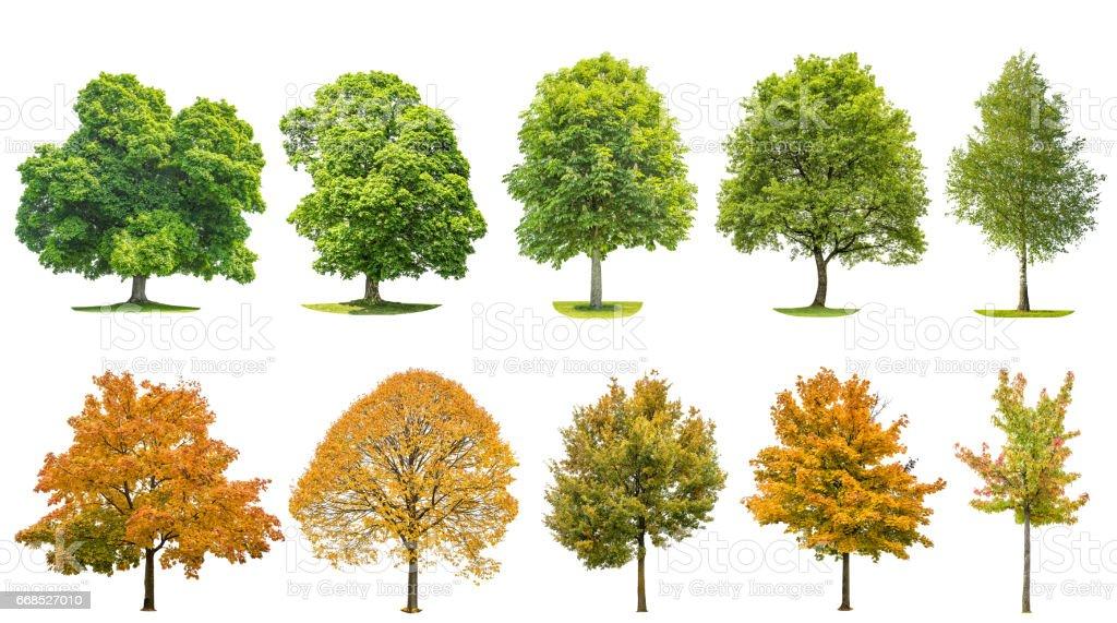 Trees isolated white background Oak maple linden birch - fotografia de stock