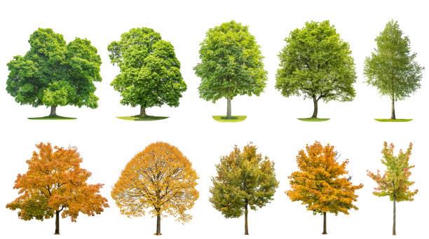 trees isolated white background oak maple linden birch - лесистая местность стоковые фото и изображения