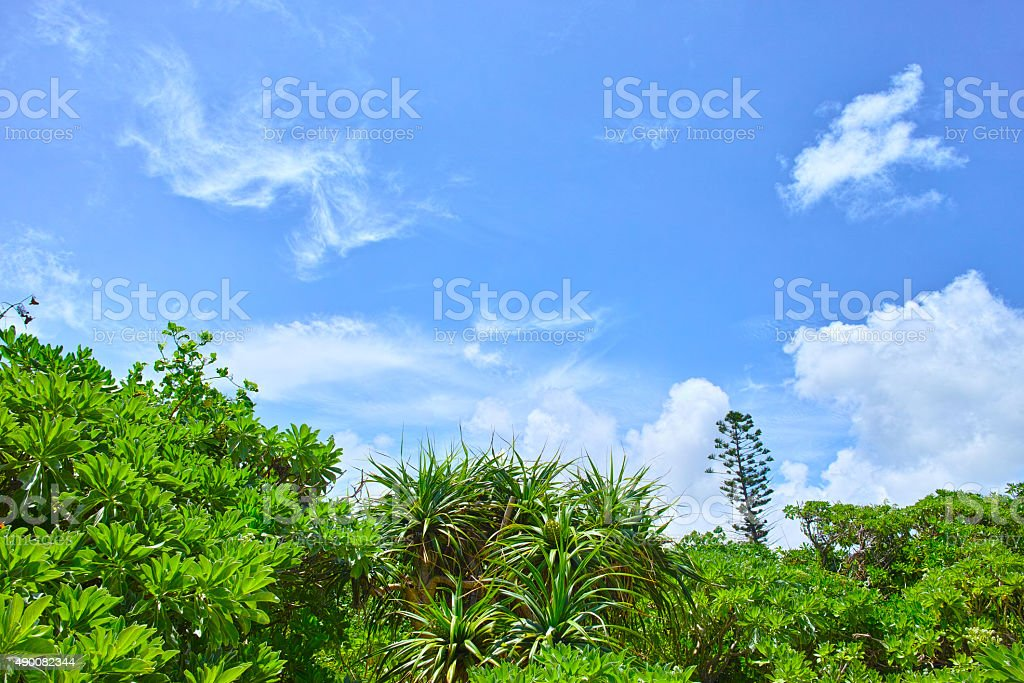 Trees of Adan that grows on the beach stock photo