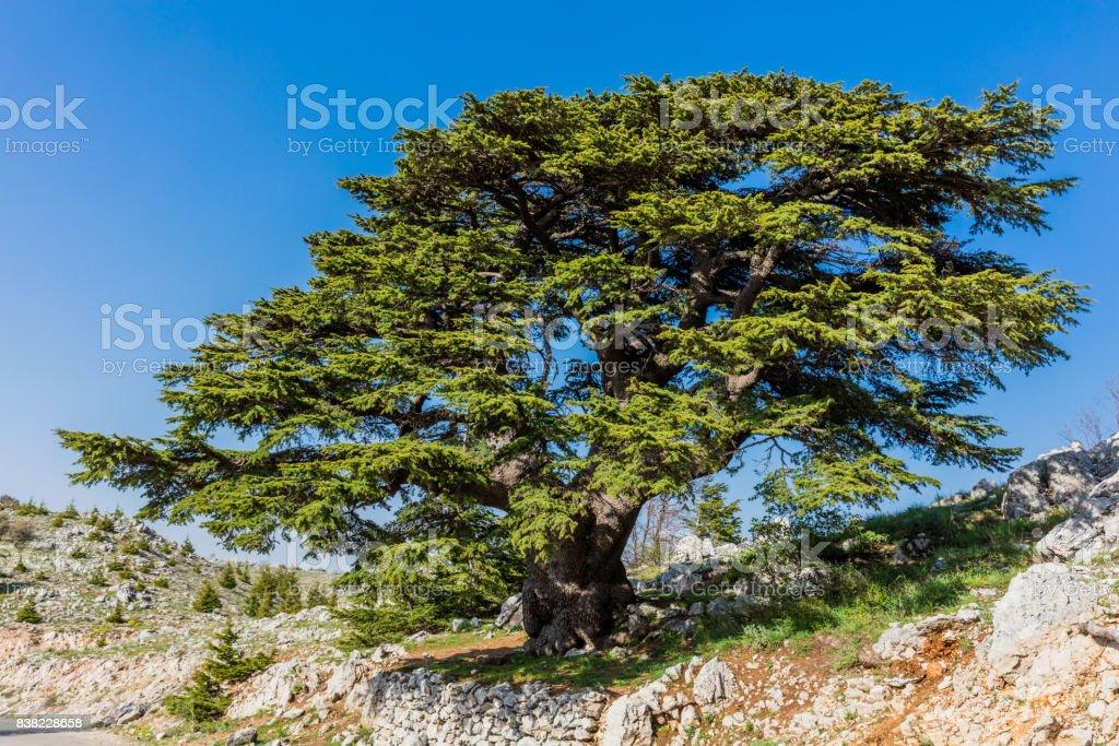 trees of Al Shouf Cedar Nature Reserve Barouk Lebanon stock photo