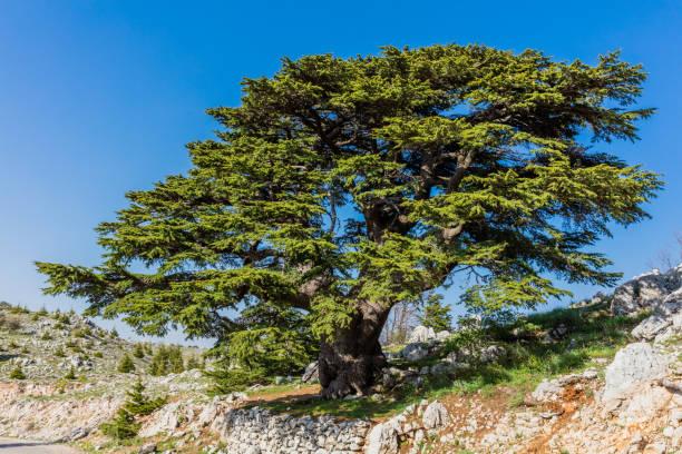 arbres du liban al shouf cèdre nature reserve barouk - liban photos et images de collection