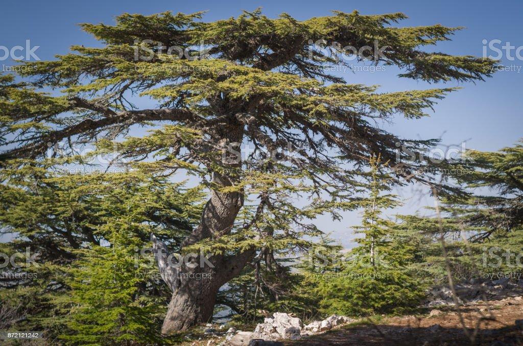 Trees of Al Shouf Cedar Nature Reserve stock photo