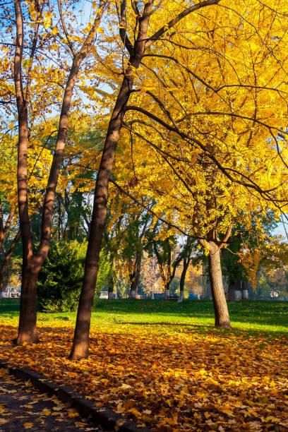 trees of city park in golden foliage stock photo