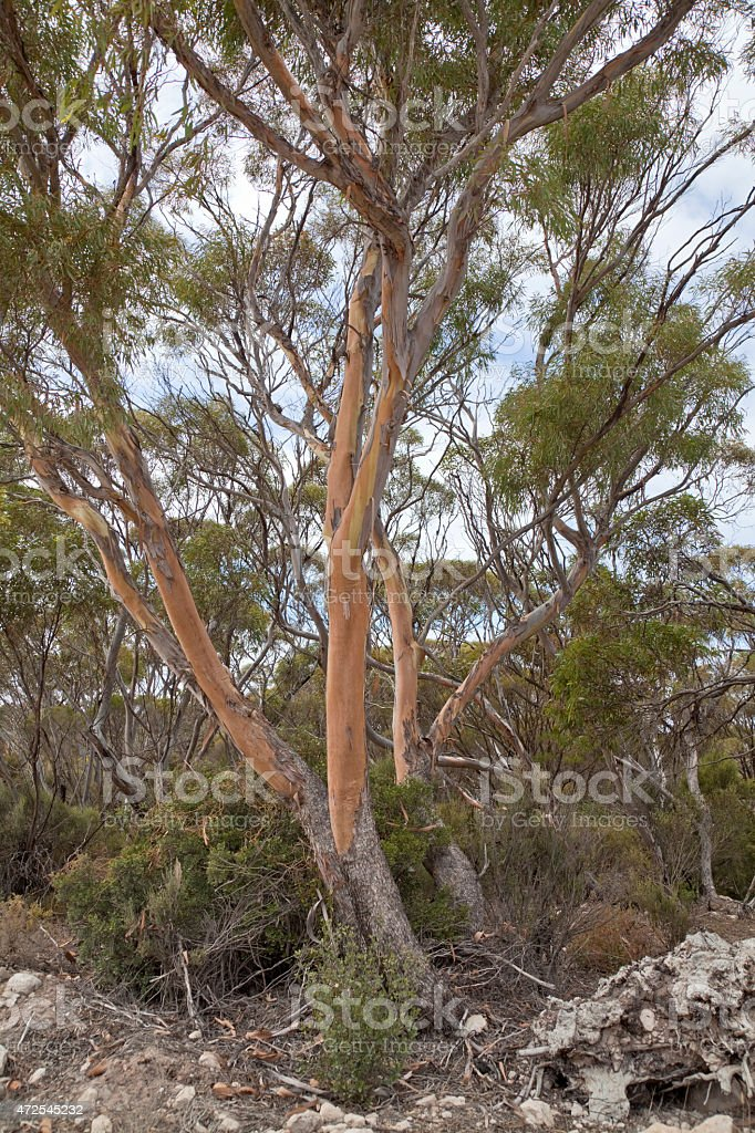 Trees of the Australian bush stock photo