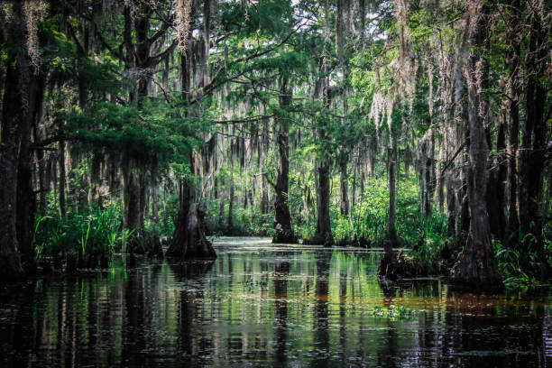 trees of the louisiana swamp - cypress tree stock photos and pictures