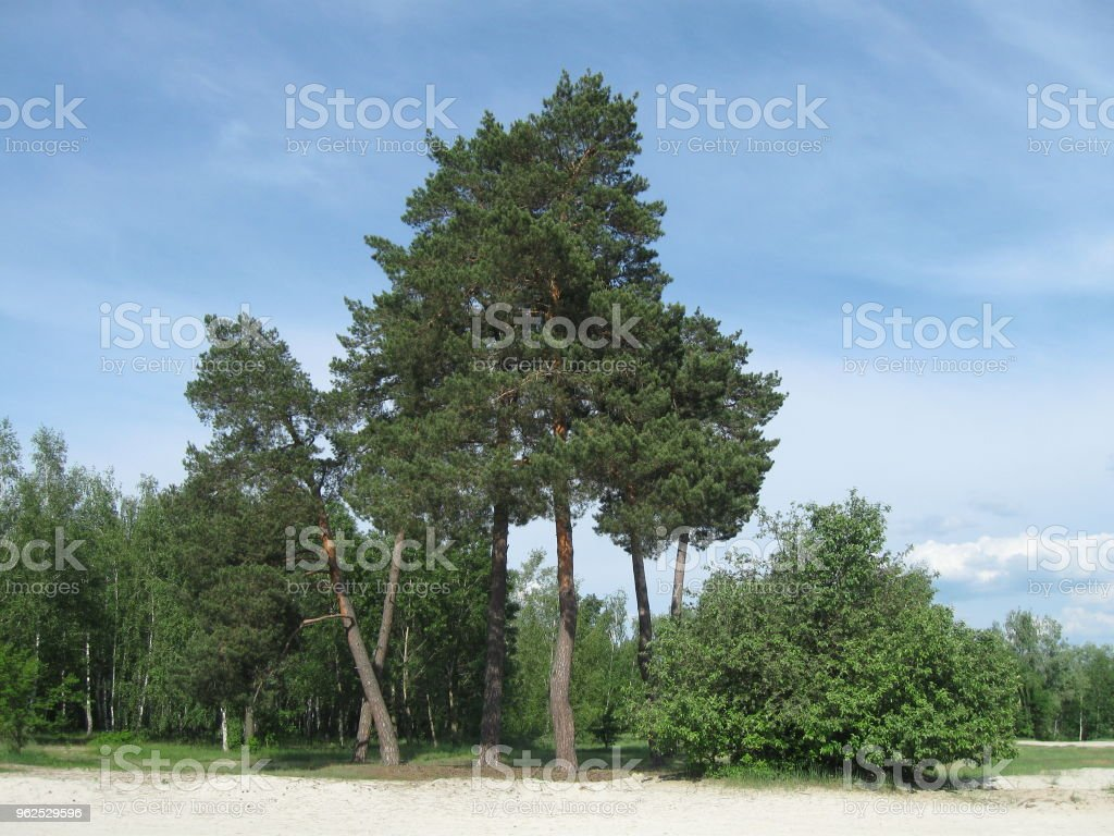 Trees on a sandy beach - Royalty-free Backgrounds Stock Photo