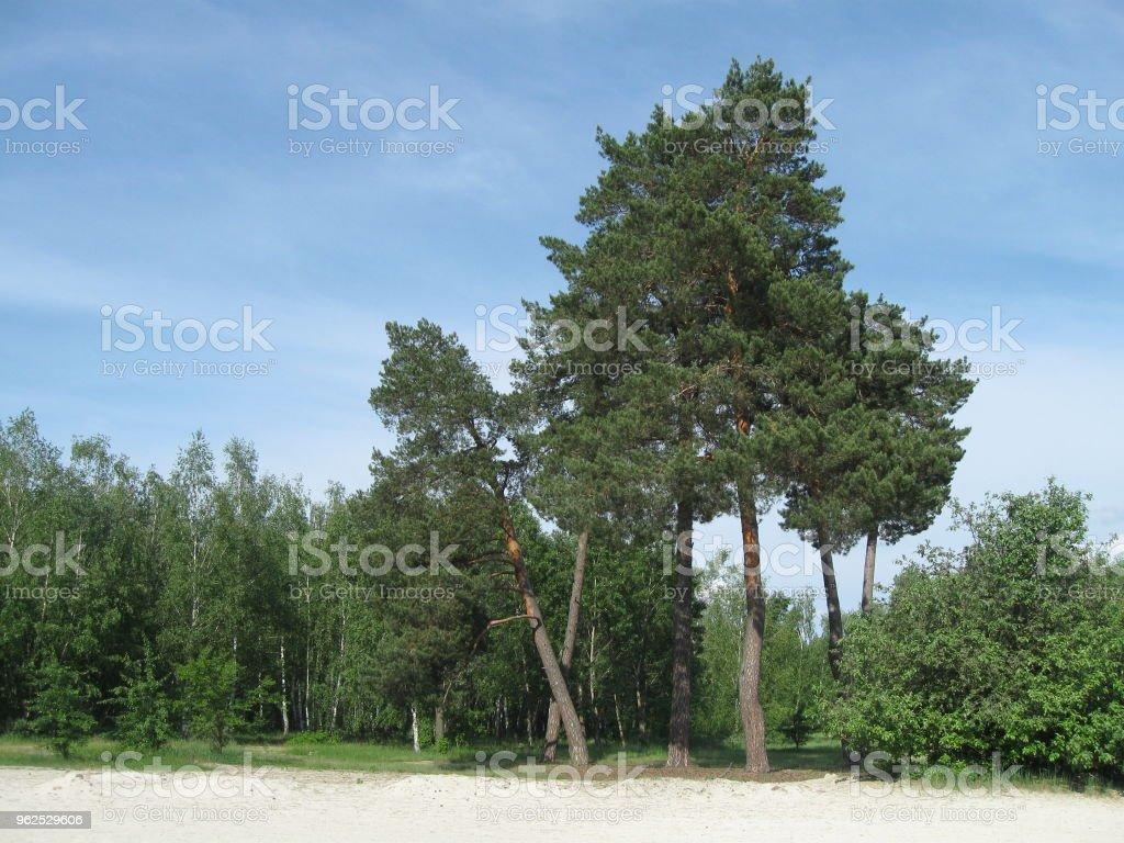 Árvores em uma praia arenosa - Foto de stock de Areia royalty-free