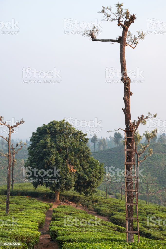 Trees On A Tamil Nadu Tea Plantation Stock Photo & More Pictures of