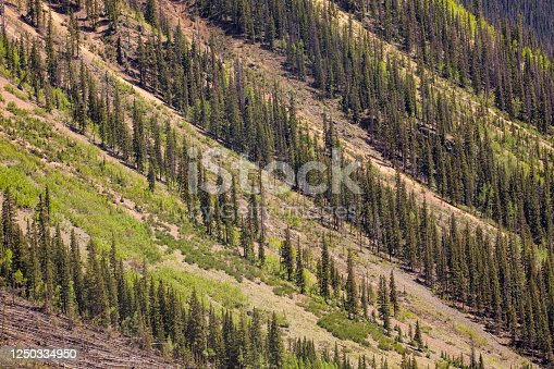 Trees on a steep slope grow in daigonal rows creating a natural pattern.