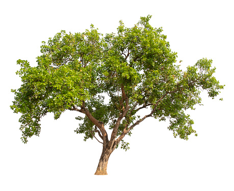 Trees on white background. Used with natural articles both on print and website.