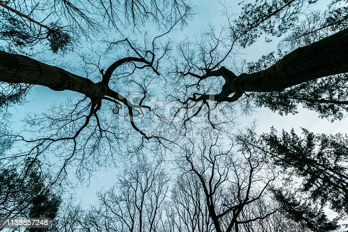 Trees photographed from below, 12 december 2018 Epe Veluwe the Netherlands