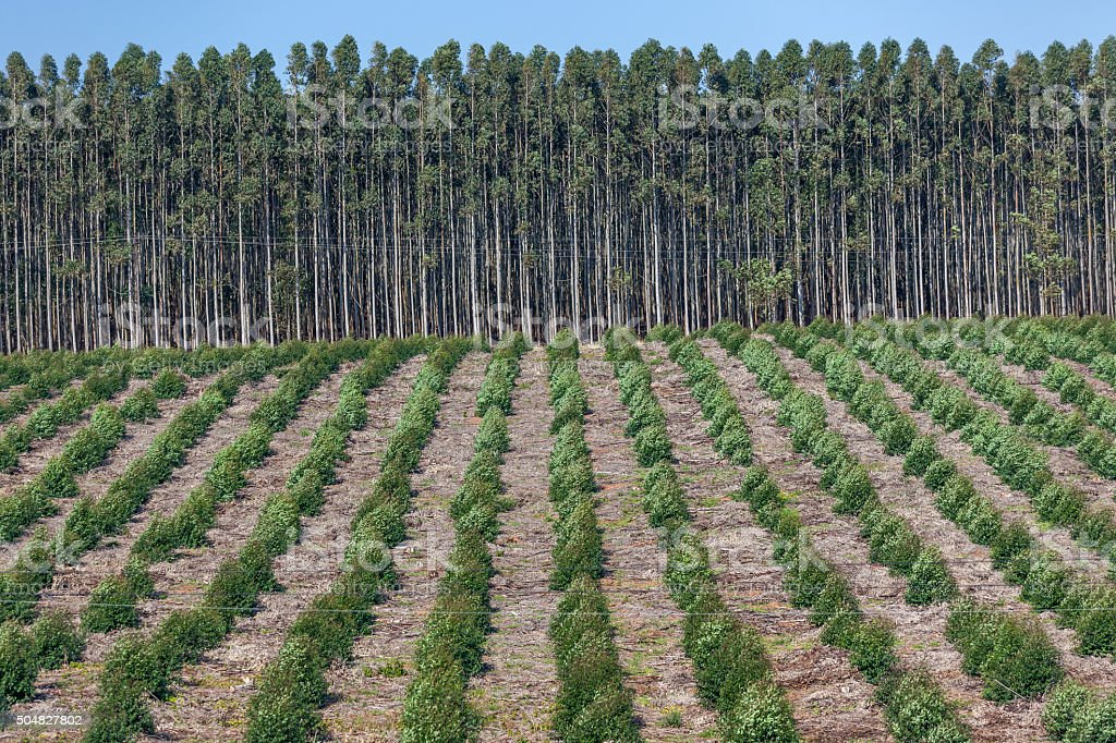 Trees Plantations stock photo