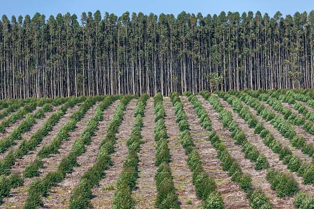 Arbres des Plantations - Photo