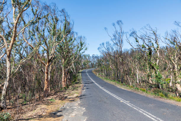Trees regenerating in The Blue Mountains after severe bush fires stock photo