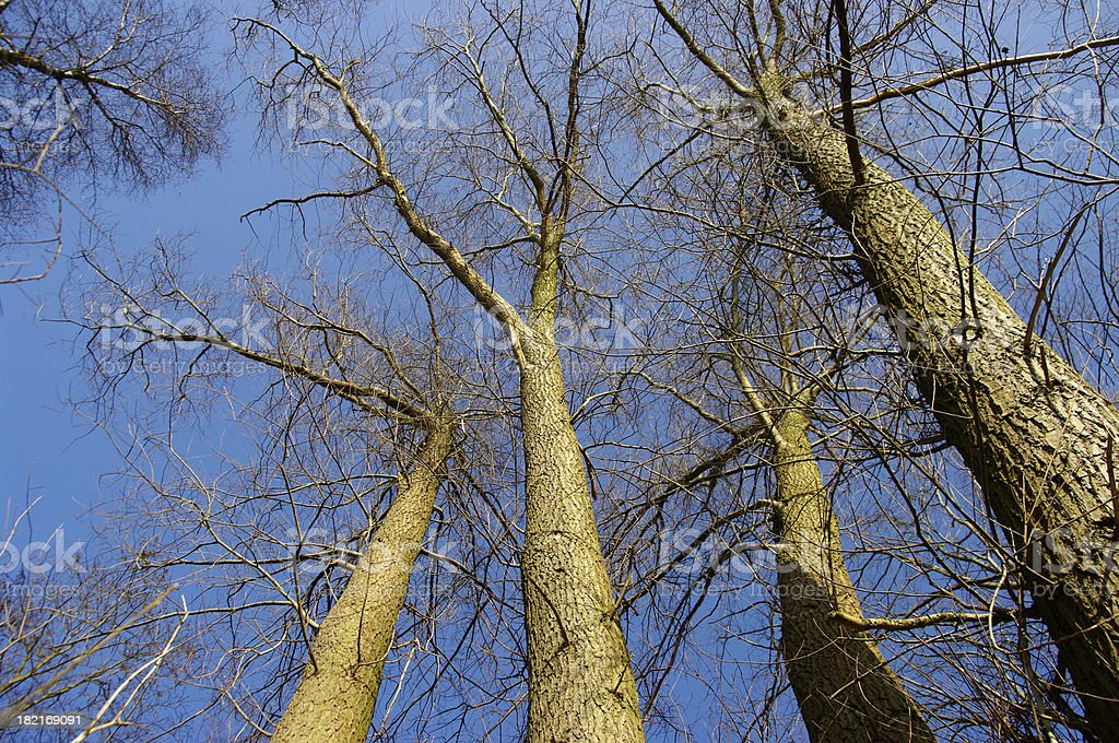 Trees up to the sky royalty-free stock photo