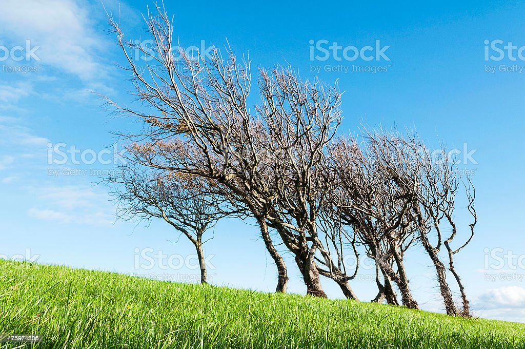 Trees, windswept on a grassy hill stock photo
