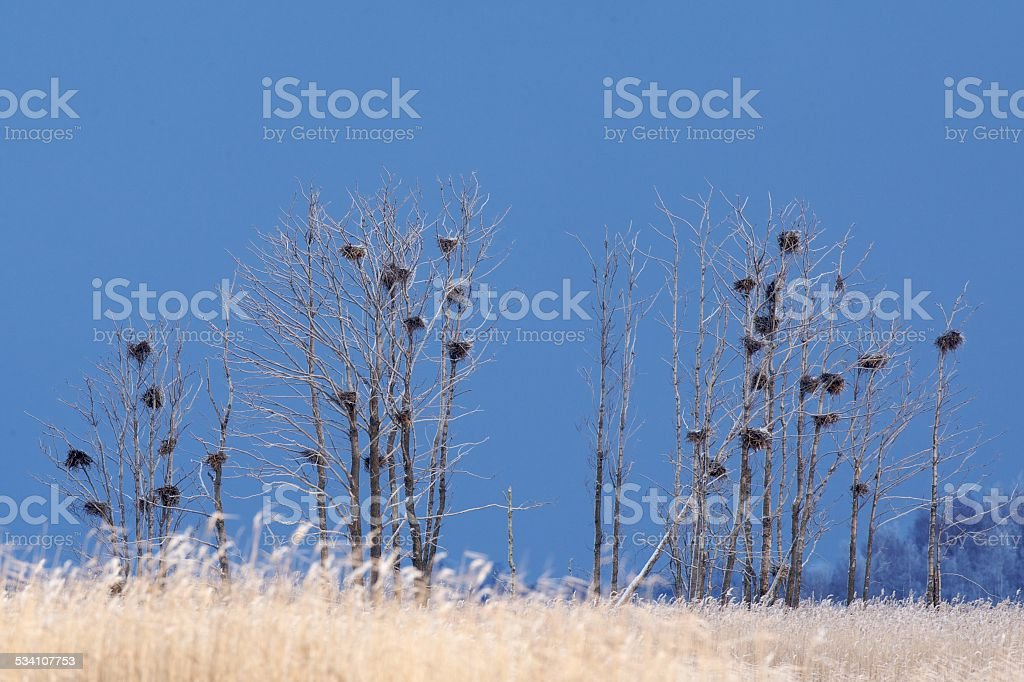 Trees with cormorant nests stock photo