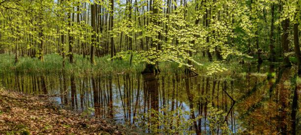 """bäume mit hellen frühlingsgrün spiegeln sich in einem waldsee im naturschutzgebiet naturpark """"mecklenburgische schweiz"""" (""""mecklenburgische schweiz"""") - nationalpark müritz stock-fotos und bilder"""