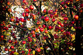 Trees with red apples