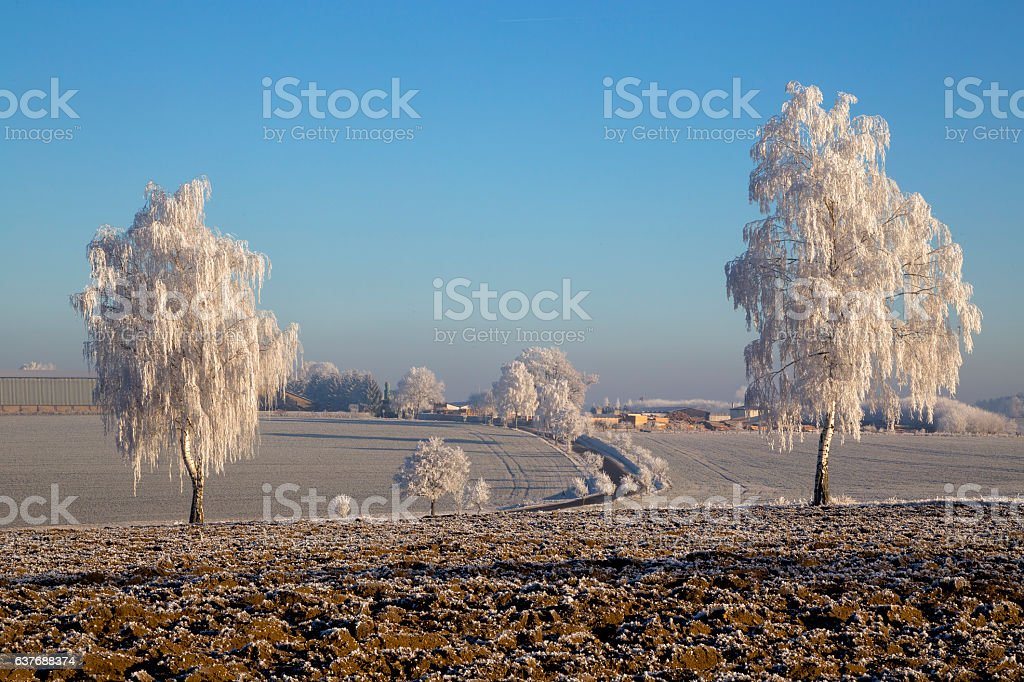 Trees with rime stock photo