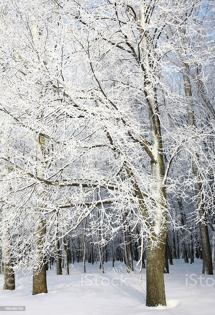 Trees with snowy branches royalty-free stock photo