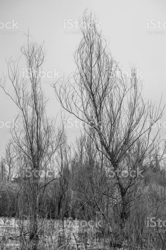 trees without leaves black and white stock photo