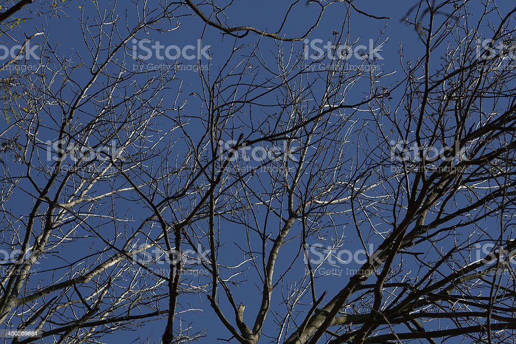 Trees without leaves royalty-free stock photo