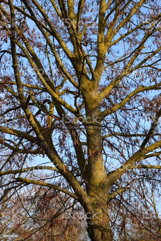 Trees without leaves. foto stock royalty-free