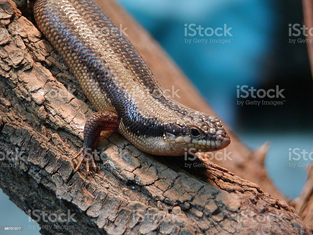 Tree-skink royalty-free stock photo