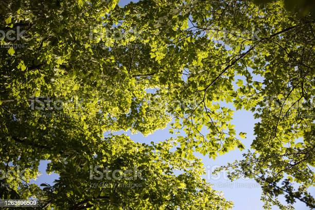 Photo of Treetop and leafs from below.