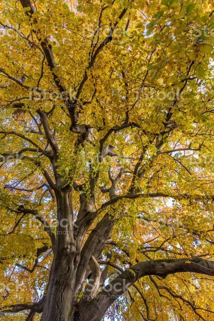 Treetop autumn colored in portrait format stock photo