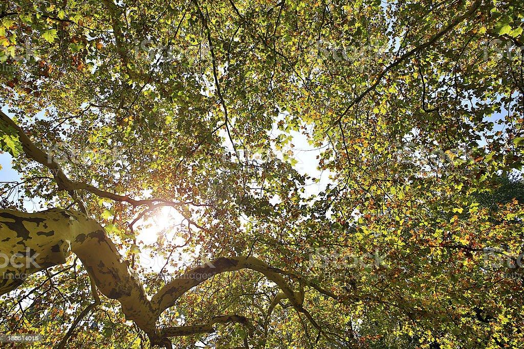 Treetop in autumn royalty-free stock photo