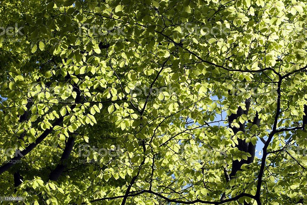 Treetop in springtime royalty-free stock photo