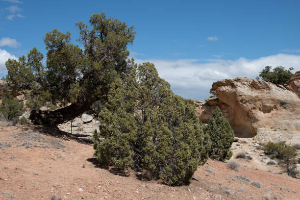 Treetop touching the ground in the Colorado National Monument stock photo