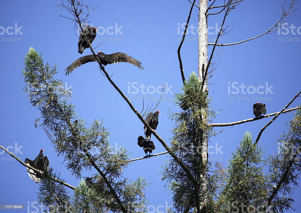 Treetop Vultures stock photo