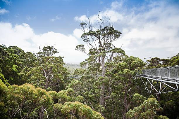wanderung über die baumwipfel valley of the giants western australia - baumwipfelpfad stock-fotos und bilder