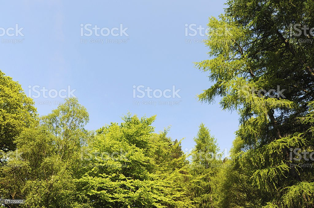 Treetops and Blue Sky royalty-free stock photo